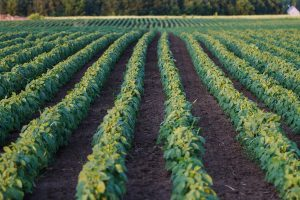 images of a soybean field